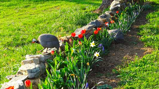 Flowers, stonewalls, and guinea hens